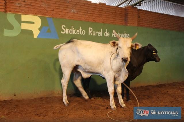 Serão leiloados bovinos, caprinos, porcos (ja abatidos), e prendas diversas. Fotos: MIL NOTICIAS/Arquivo