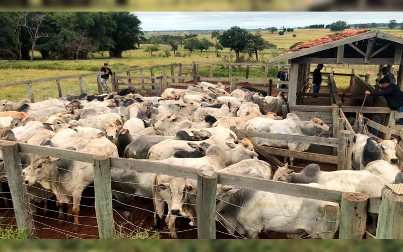 Cabeças de gado foram furtadas em Promissão e encontradas em Herculândia. Foto: DIG de Tupã