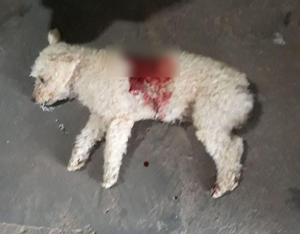 """Cachorro da raça Poodle, chamado de """"Floquinho', foi vitima de um Pit Bull na praça João Leite, na Vila Mineira. Foto: Internauta"""