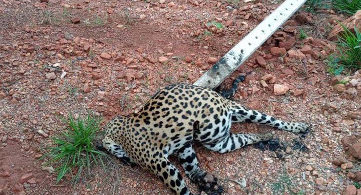 Onça-pintada morre ao ser atingida por poste derrubado por árvore em rodovia de Sinop — Foto: Divulgação.